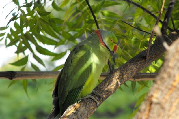 baganbird